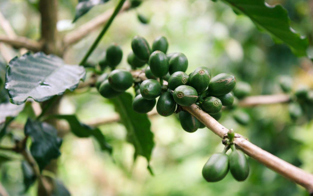 Zielona kawa – poznaj jej wartość odżywcze i właściwości